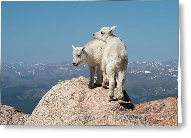 Frisky Mountain Goat Babies Greeting Card