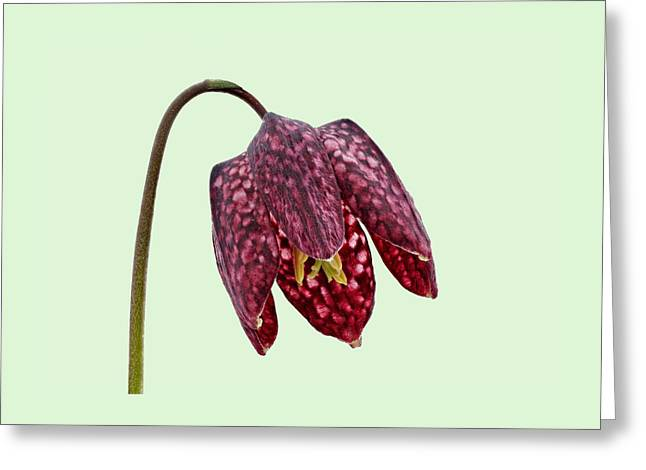 Fritillaria Meleagris Green Background Greeting Card by Paul Gulliver