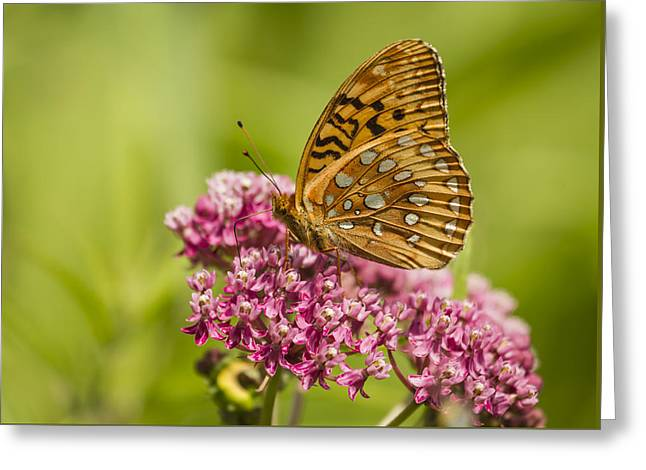 Fritillary On Milkweed 2014-1 Greeting Card by Thomas Young