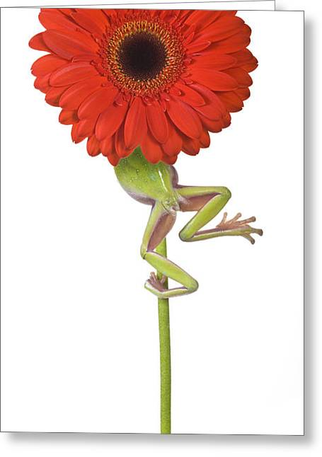 Frog And Gerbera Daisy Greeting Card by Jean-Louis Klein & Marie-Luce Hubert