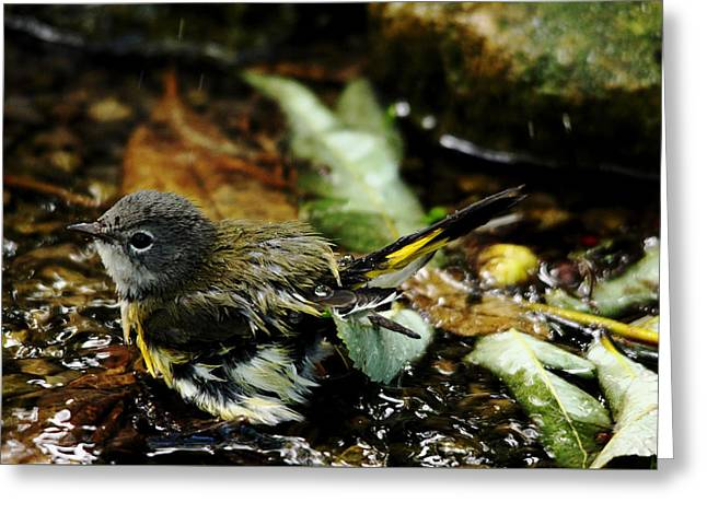 Frolicking American Redstart Greeting Card