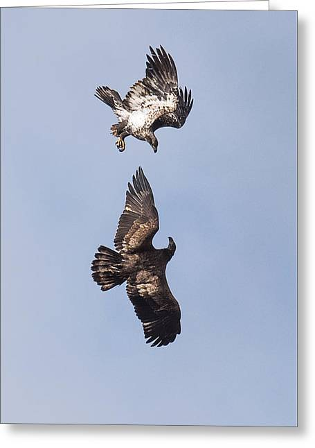 Frolicking Eagles Greeting Card by Paul Freidlund