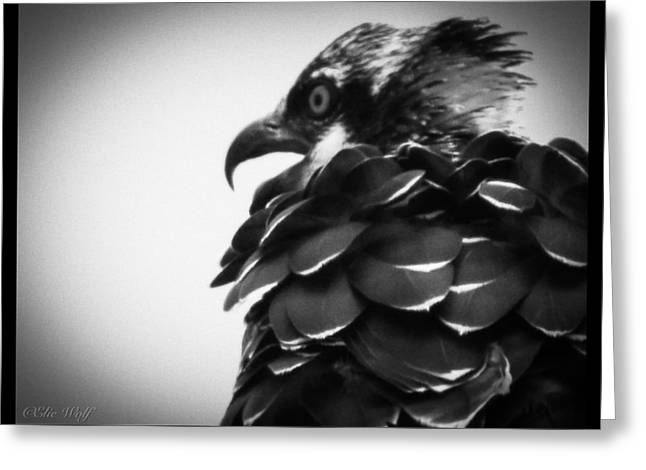 From The Series The Osprey Number 4 Greeting Card