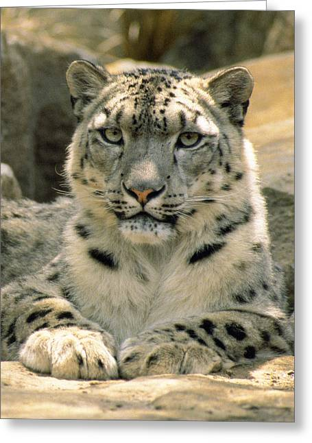 Frontal Portrait Of A Snow Leopards Greeting Card by Jason Edwards