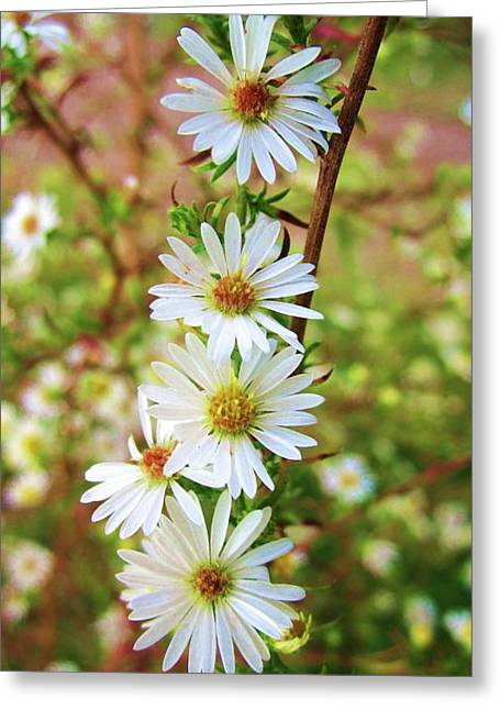 Frost Aster Greeting Card
