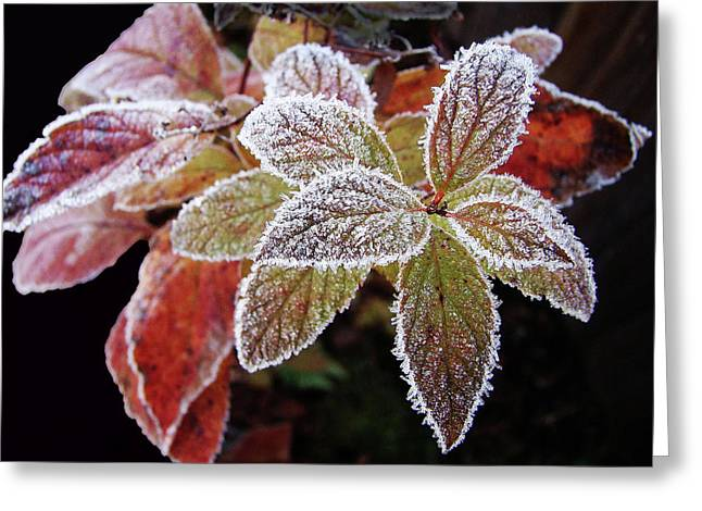 Frost Cluster Greeting Card by Betsy Zimmerli