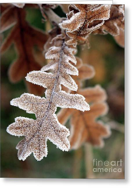 Frost Covered Oak Leaf Greeting Card
