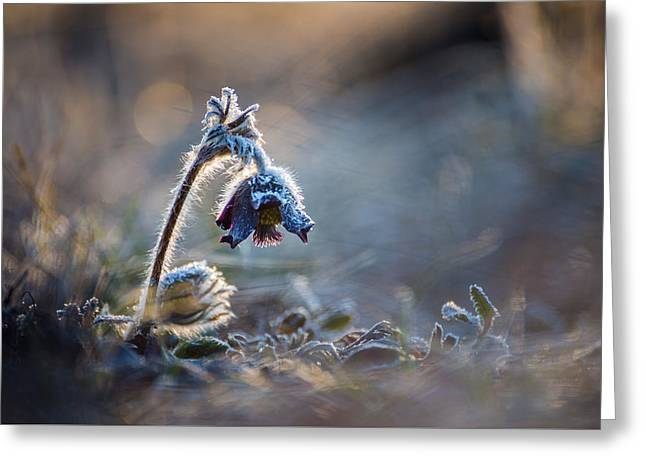 Frosted Beauty Greeting Card by Davorin Mance