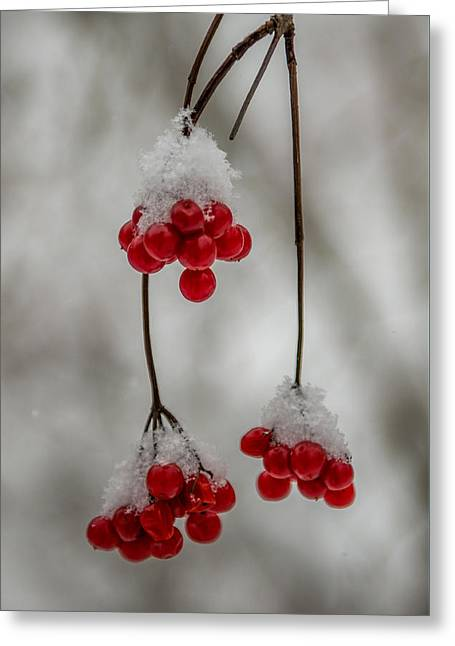 Frosted Berries Greeting Card by Paul Freidlund