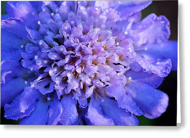 Frosted Blue Pincushion Flower Greeting Card