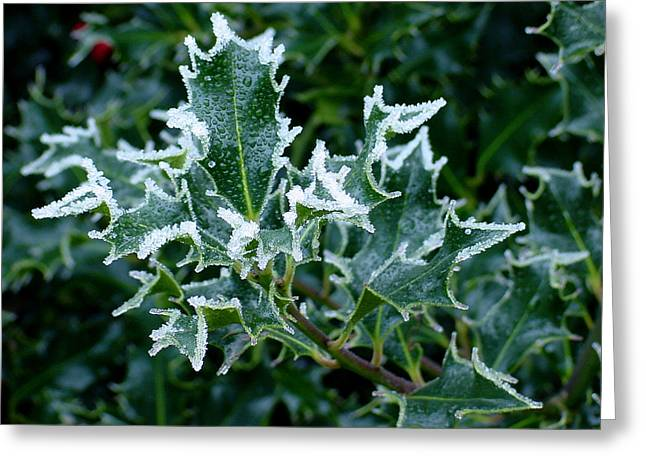 Frosted Holly Greeting Card by Shirley Heyn