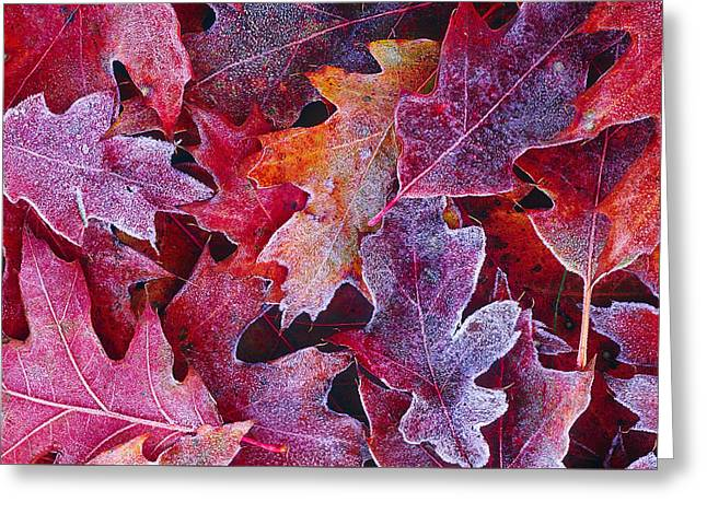 Frosted Red Oak Leaves Greeting Card