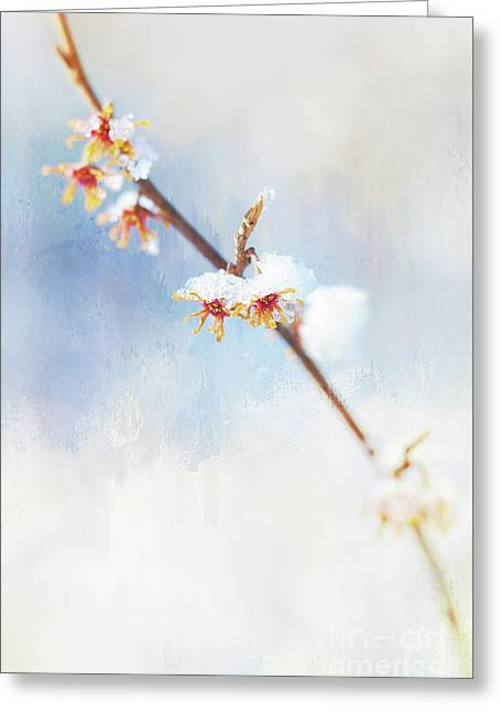 Frosted Witch Hazel Blossoms  Greeting Card