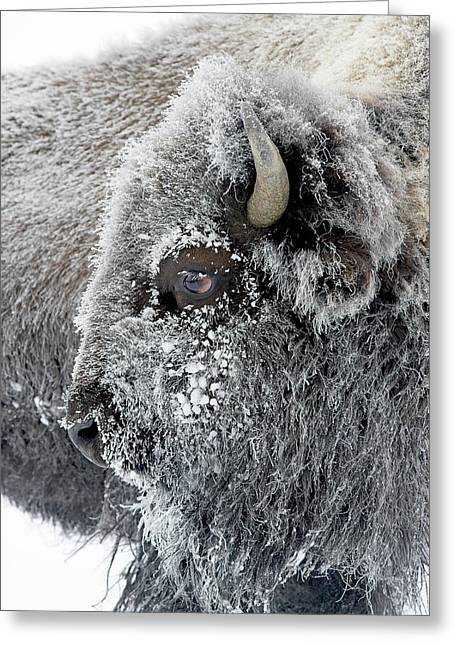 Frosty Bison Greeting Card