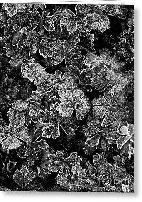 Frosty Geranium Leaves Monochrome Greeting Card by Tim Gainey