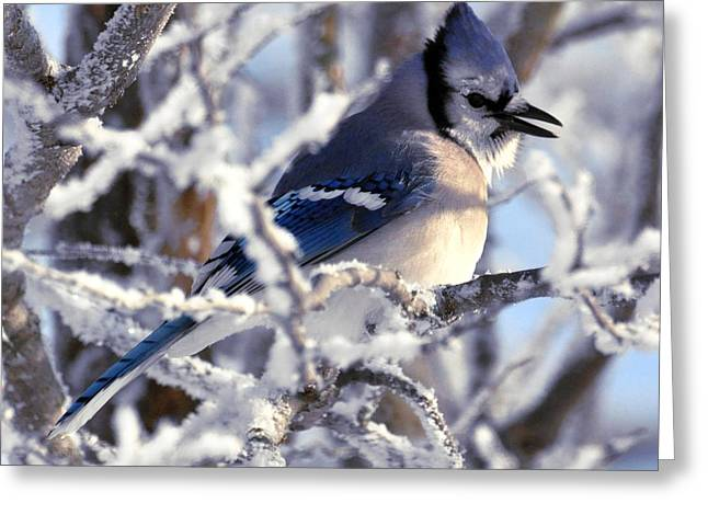 Frosty Morning Blue Jay Greeting Card
