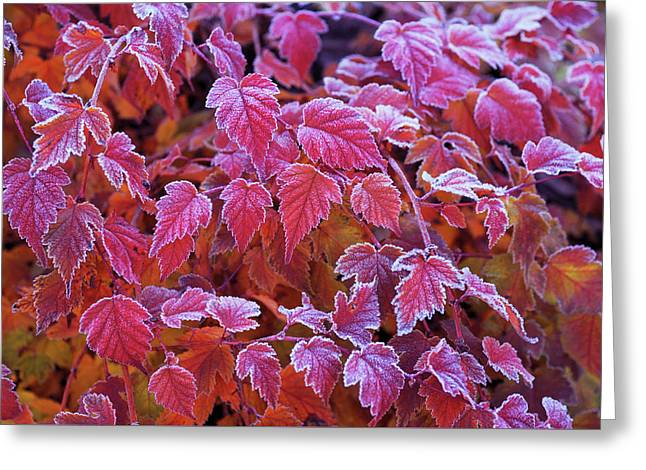 Frosty Red Leaves Greeting Card by Jenny Rainbow