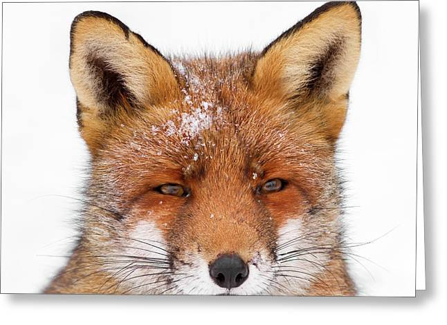 Frozen Fox Greeting Card by Roeselien Raimond