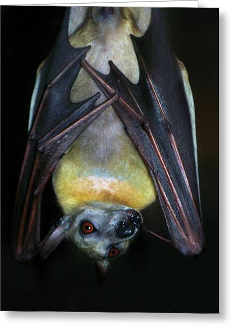 Greeting Card featuring the photograph Fruit Bat by Anthony Jones