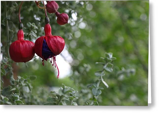 Fuchsia - 1 Greeting Card