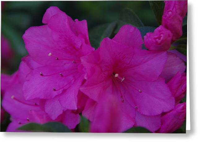 Fuchsia Azaleas Greeting Card by Robyn Stacey