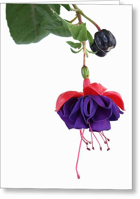 Fuchsia Blossom Greeting Card by Robert Gebbie