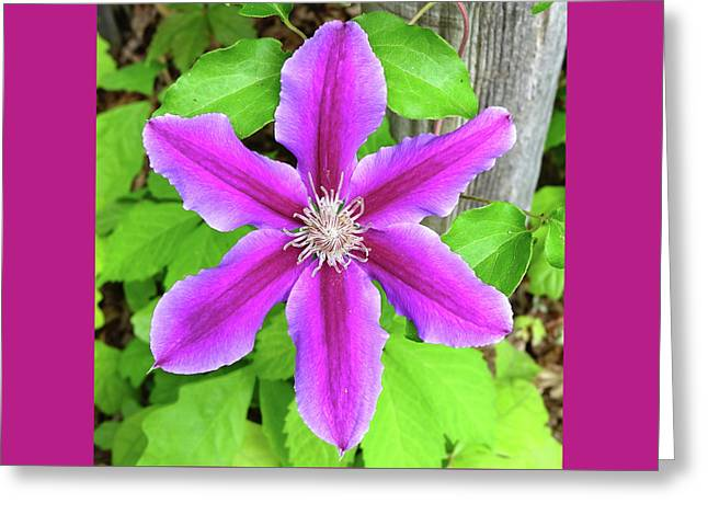 Fuchsia Clematis On Fence Post Greeting Card by Denise Beverly