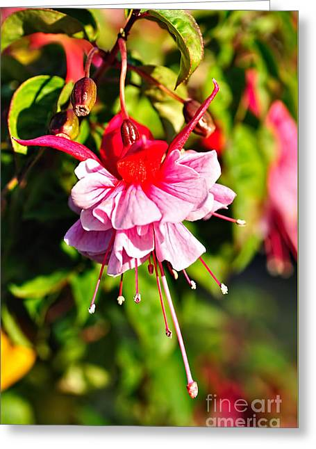 Fuchsia Enjoying The Sunshine Greeting Card by Kaye Menner