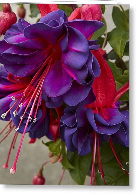 Full Skirt Greeting Cards - Fuchsia Voodoo Greeting Card by Geoff Bryant