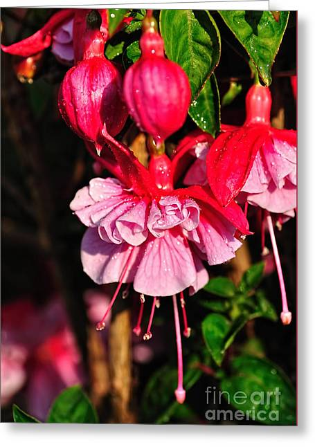 Fuchsias With Droplets Greeting Card by Kaye Menner