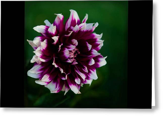 Greeting Card featuring the photograph Fuffled Petals by Cherie Duran