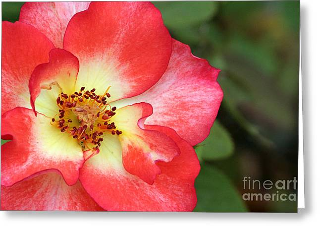 Full Bloom Greeting Card by Jeannie Burleson
