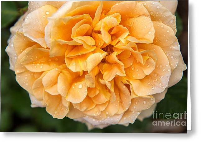 Full Bodied Peach Rose Greeting Card by Terri Morris