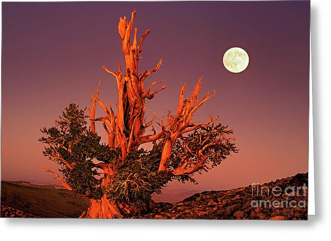 Greeting Card featuring the photograph Full Moon Behind Ancient Bristlecone Pine White Mountains California by Dave Welling