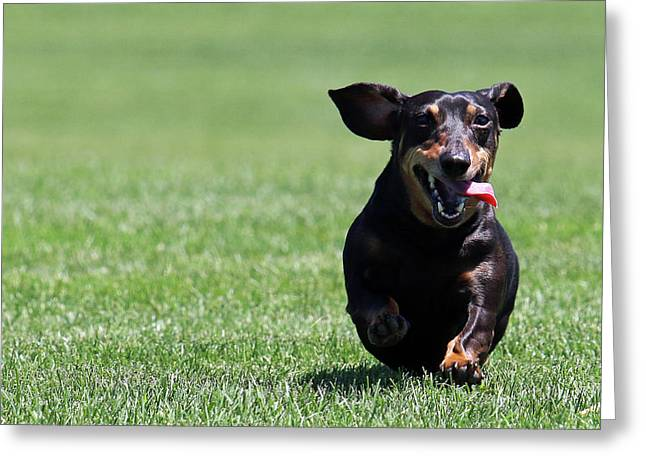 Full Tilt Dachshund Greeting Card