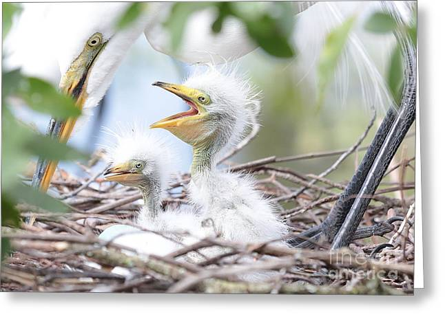 Fun Baby Egrets With Mom Greeting Card