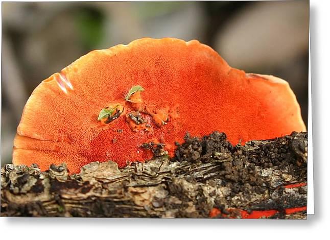 Fungi Pycnoporus Coccineus Greeting Card