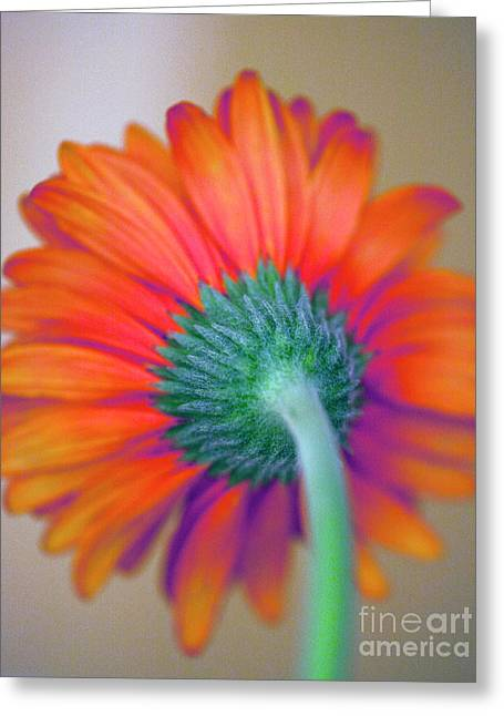 Funky Gerbera Greeting Card by Amanda Barcon