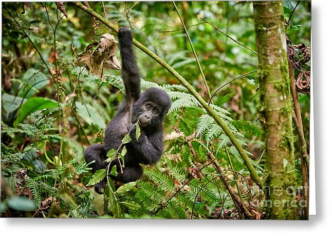 Funny And Cute Juvenile Mountain Gorilla  2 Greeting Card
