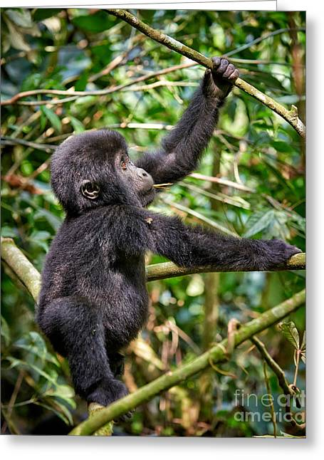Funny And Cute Juvenile Mountain Gorilla 3 Greeting Card