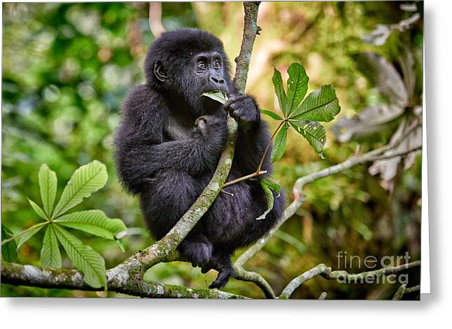Funny And Cute Juvenile Mountain Gorilla  5 Greeting Card