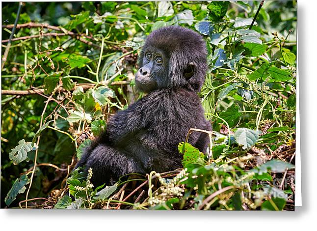 Funny And Cute Juvenile Mountain Gorilla Greeting Card