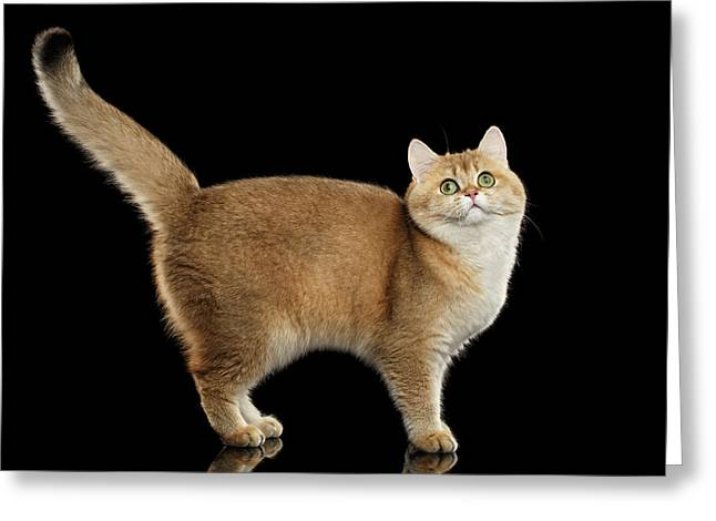 Funny British Cat Golden Color Of Fur Greeting Card by Sergey Taran