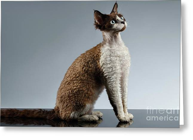 Funny Devon Rex Sits In Profile View On Gray  Greeting Card by Sergey Taran