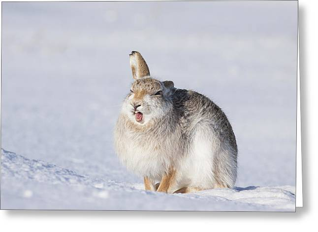 Funny Face - Mountain Hare - Scottish Highlands  #13 Greeting Card