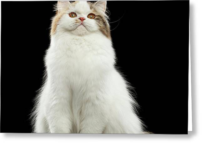 Funny Portrait Angry Scottish Highland Straight Cat, Isolated Bl Greeting Card by Sergey Taran