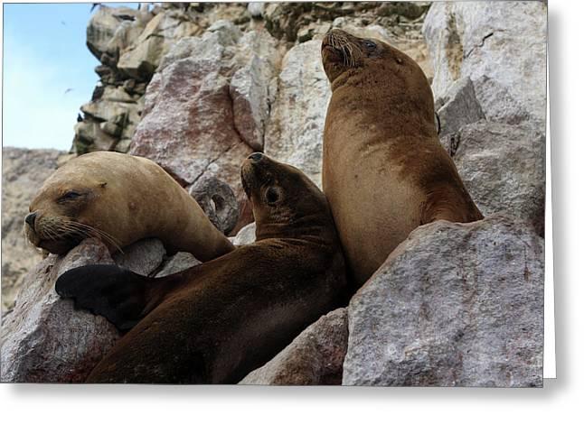 Fur Seals On The Ballestas Islands, Peru Greeting Card by Aidan Moran