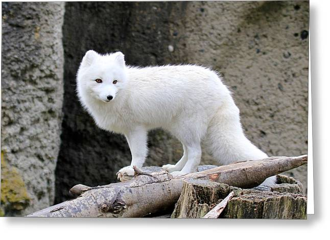 Furry Arctic Fox  Greeting Card
