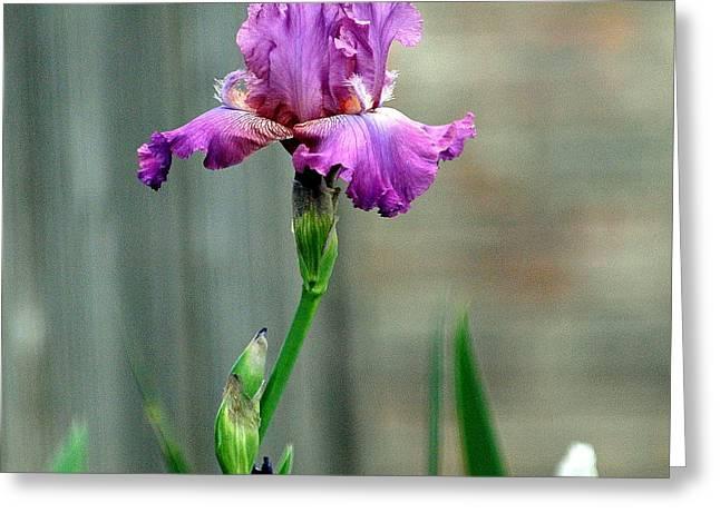 Fuschia Bearded Iris Greeting Card