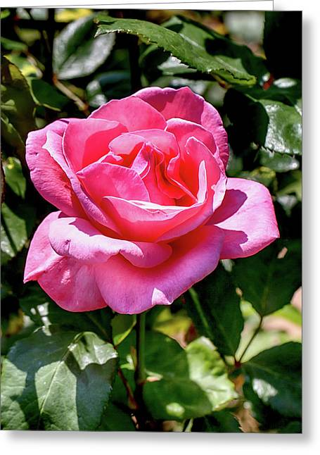 Fuschia Rose In Sunshine Greeting Card by John Haldane